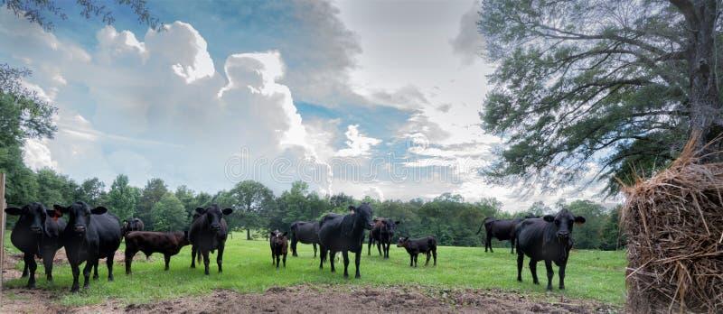 En flock av svart Angus nötkreatur i en beta med fluffiga vita moln royaltyfri bild