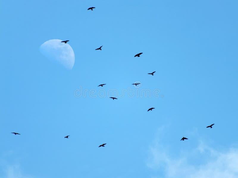 En flock av svart gal flyga över månen i en blå himmel royaltyfri fotografi