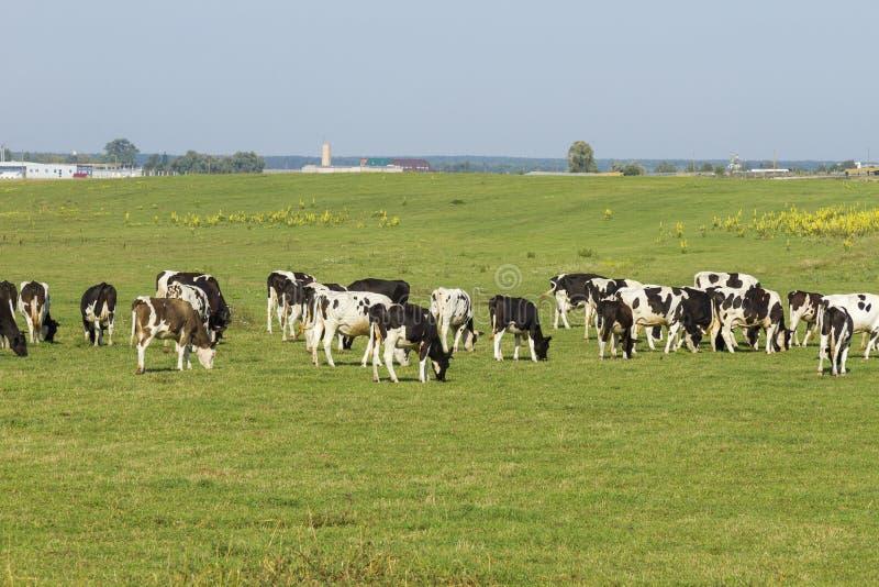 En flock av unga kor och kvigor som betar i en frodig gräsplan, betar av gräs på en härlig solig dag Svartvita kor i a arkivbild