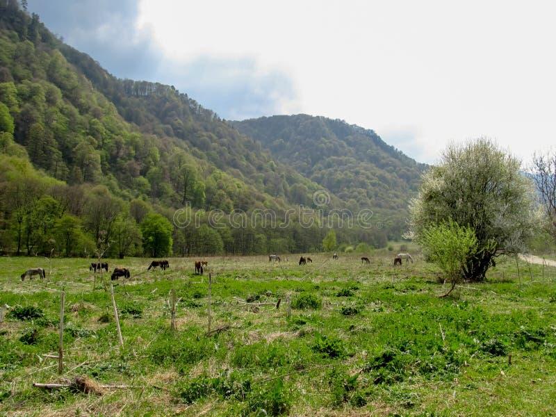 En flock av vildhästar som betar i en äng i utlöparen av bergen royaltyfria bilder