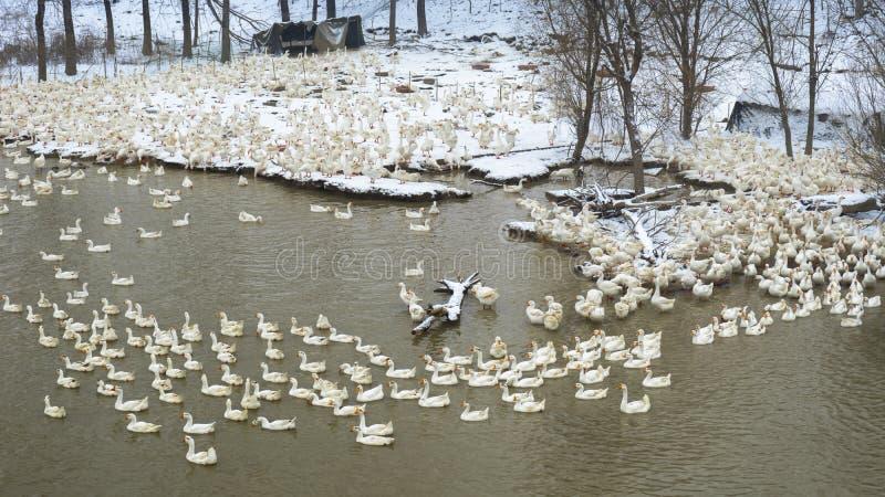 En flock av vit gäss i den insnöade vintern royaltyfri fotografi