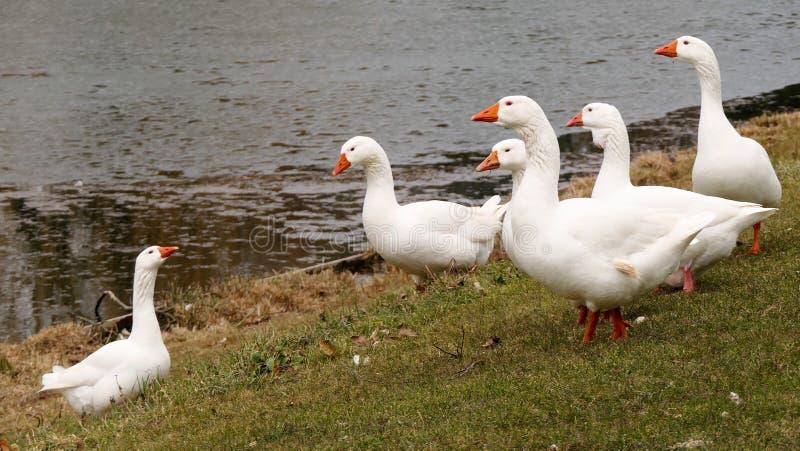 En flock av vit g?ss arkivfoto