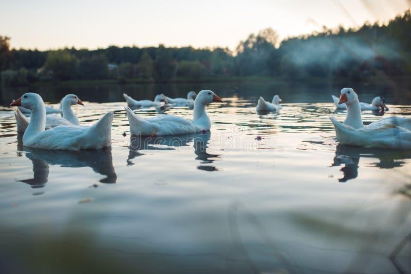 En flock av vit inhemsk gäss som simmar i sjön i afton Den tämjde gråa gåsen är höns som används för kött, ägg, befjädrar ner arkivbild