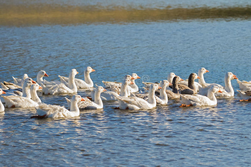 En flock av vit inhemsk gäss som simmar i sjön i eftermiddag, T royaltyfri fotografi