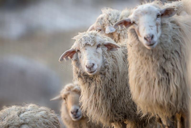 En flock av vita sheeps royaltyfri fotografi