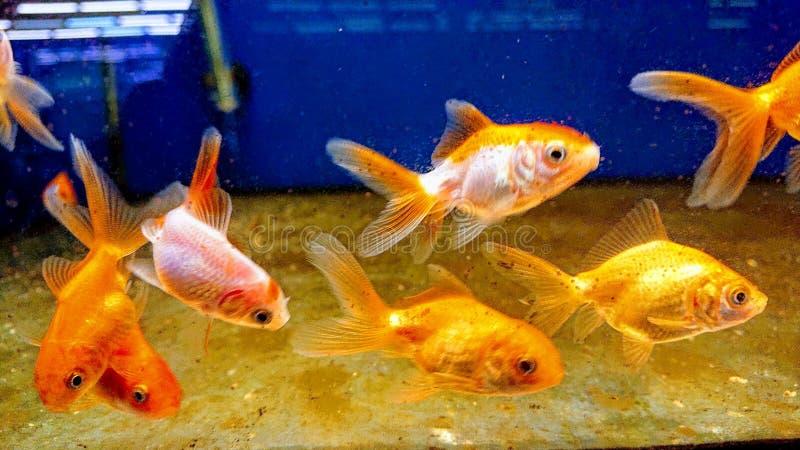 En flock guldfisk i en husbutik i ett akvarium fotografering för bildbyråer