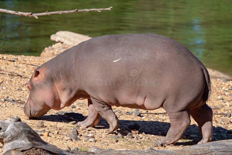 En flodhäst som går nära ett träsk arkivfoton