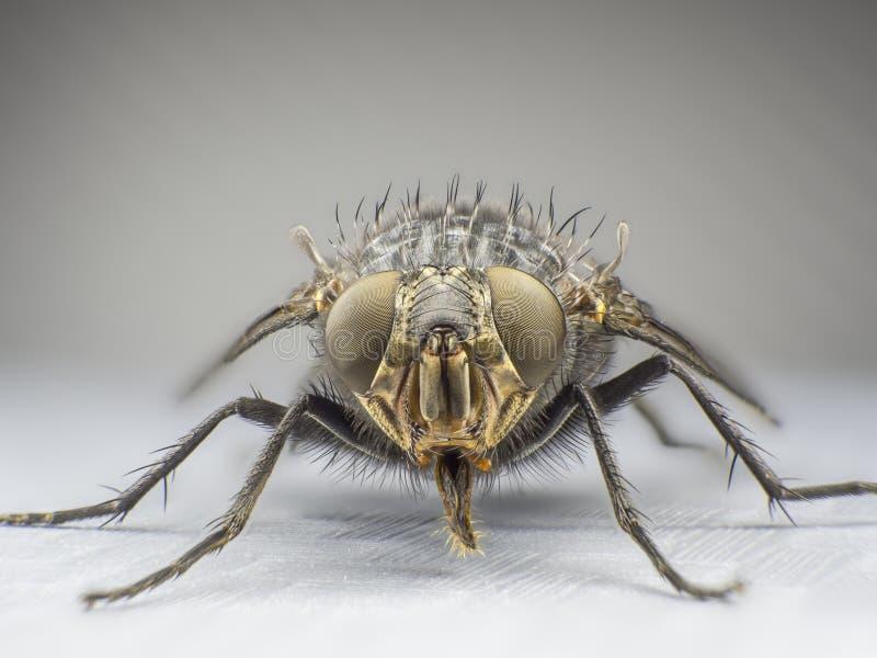 en fluga, slut upp, makro, stor fluga, gigantiskt kryp, främre sikt arkivfoto