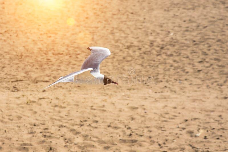 En flygseagull över sanden av fjärden royaltyfri bild