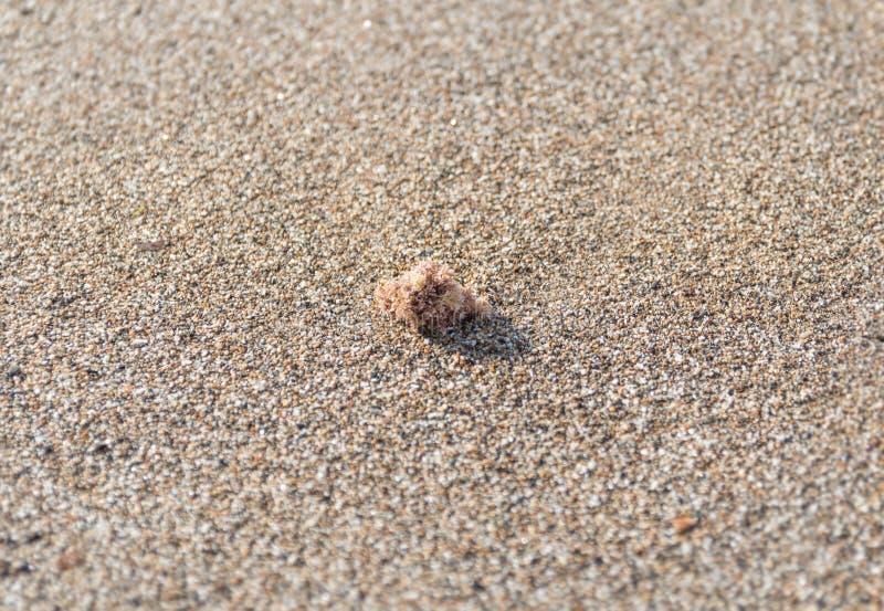 En foco secó el pedazo de la alga marina lavado en tierra en la playa arenosa imagen de archivo