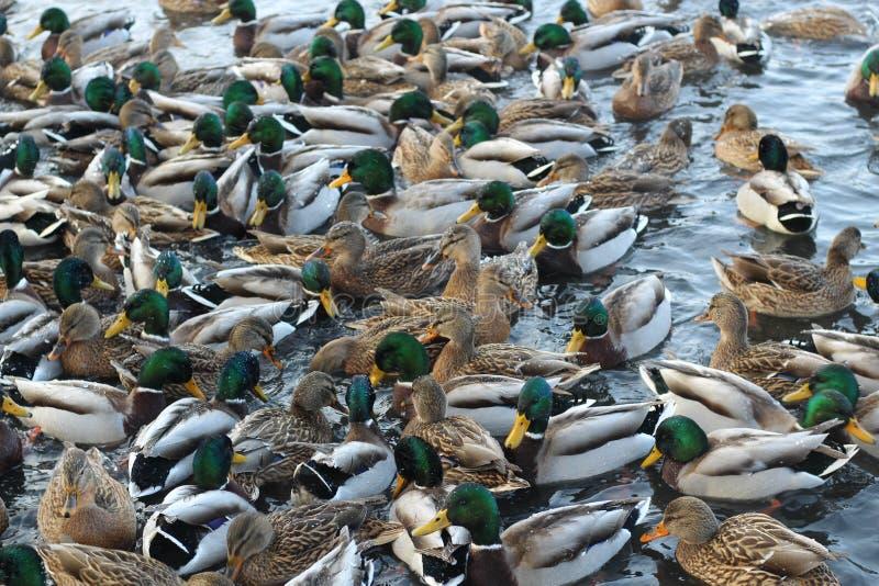 En folkmassa av änder som svävar på vattnet royaltyfria bilder