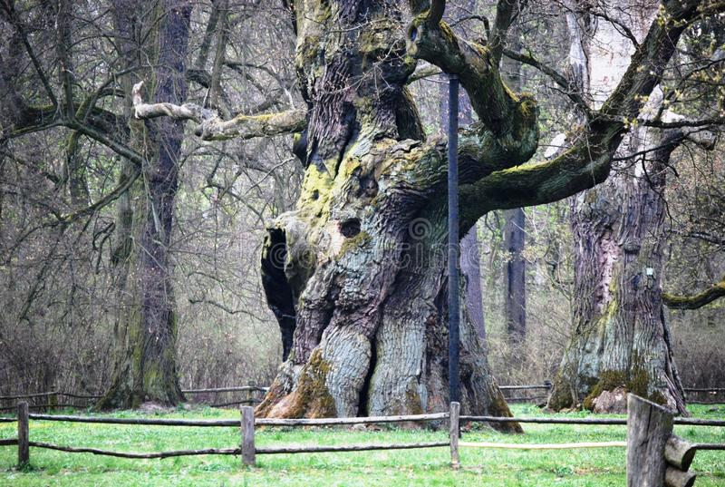 En forntida ek i Polen, i Rogalin fotografering för bildbyråer