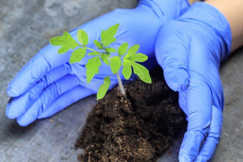 En forskare rymmer en grodd i hans händer denna är tomaten begreppet av skyddande växter från utplåning royaltyfria bilder
