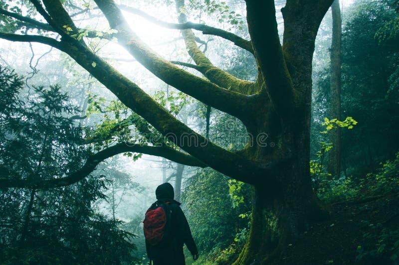 En fotvandrare i en dimmig spöklik skog i sommar Se upp på filialer av ett forntida träd arkivfoto