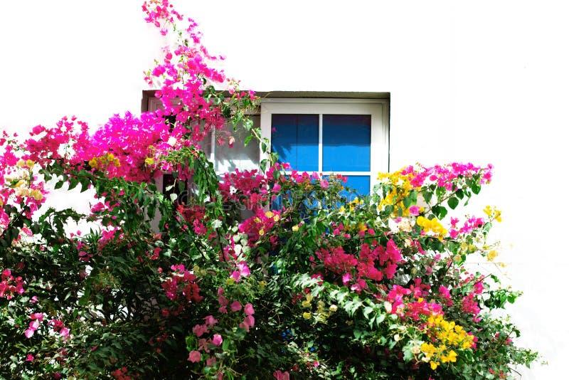 En främre sikt av ett träfönster på en vit vägg med den härliga färgrika busken av blommor royaltyfri bild