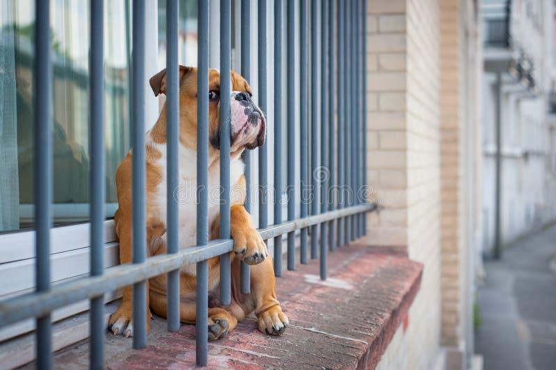 En fransk bulldogg väntar på fönstren bak ett raster som en arrest royaltyfri fotografi
