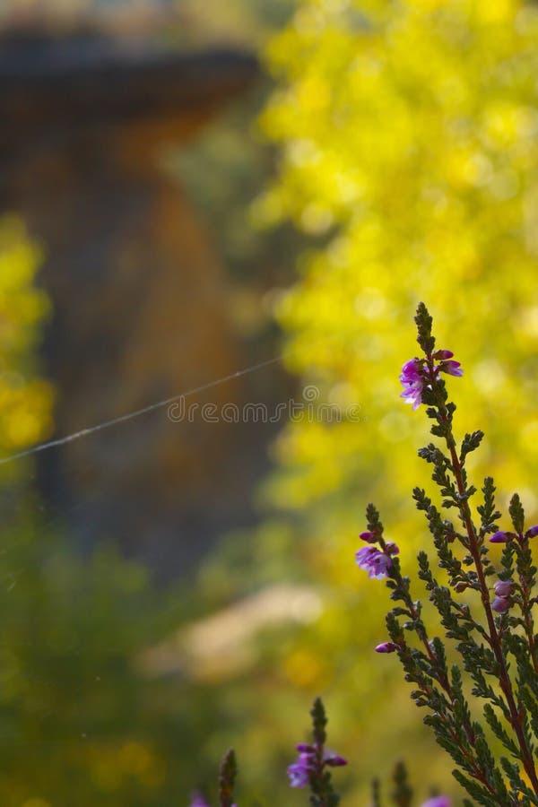 En frodas hed med blomningar för en fiol arkivbild