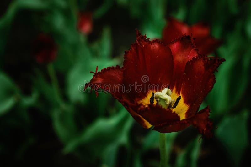 En frottéburgundy tulpan på ett mörkt bakgrundsslut upp Rött tulpanmakroslut upp royaltyfri foto