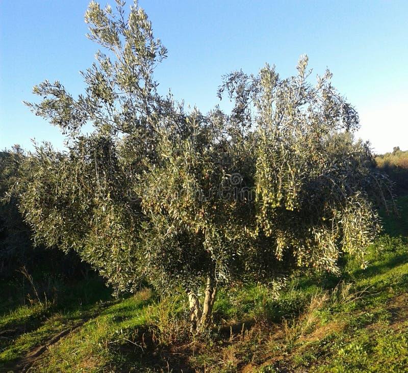 En fruktbar olivträd royaltyfri fotografi