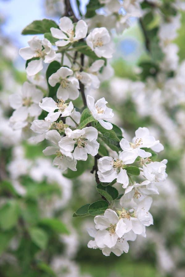 En frunch av det blommande äppleträdet royaltyfri foto
