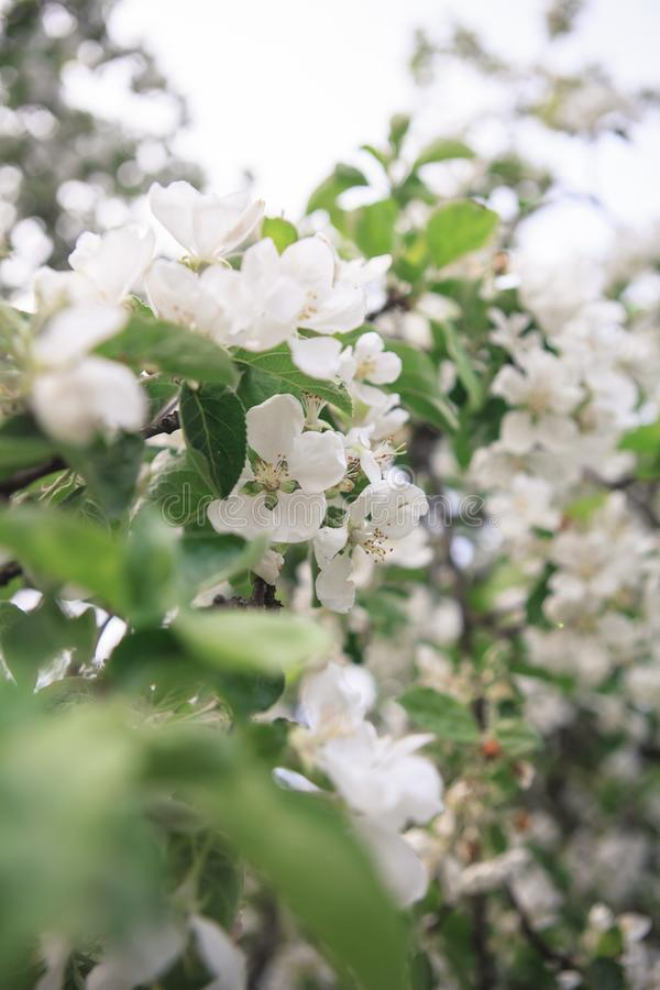 En frunch av det blommande äppleträdet arkivfoton