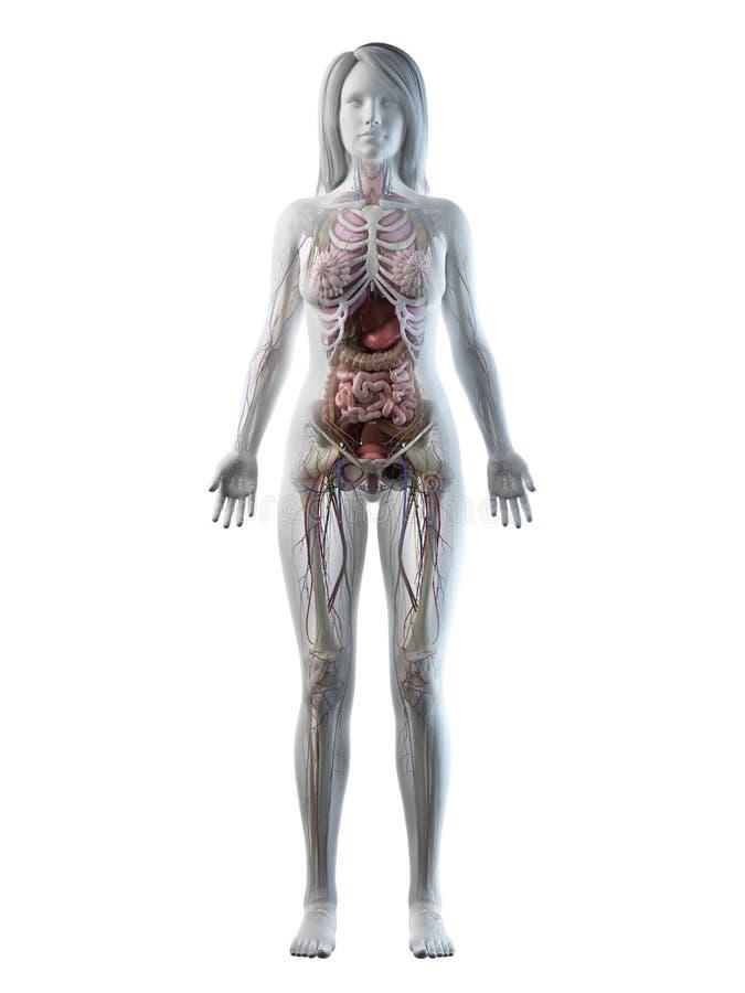 En full kroppanatomi för kvinnlig stock illustrationer