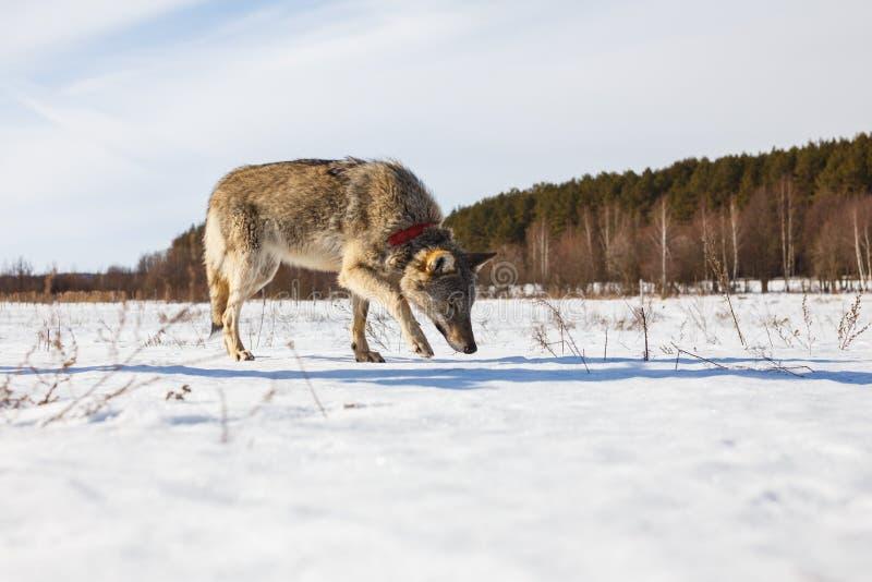 En fullvuxen grå varg smyga sig längs ett snöig vinterfält under en skog royaltyfri foto