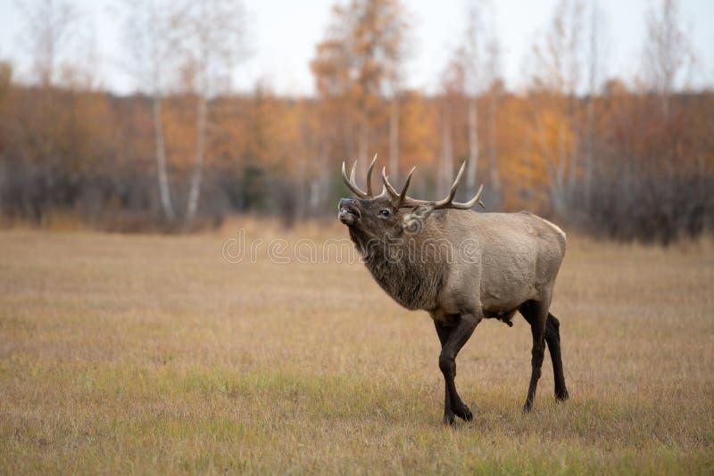 En fullvuxen hankronhjort för röda hjortar som vrålar under brunstig säsong i höst royaltyfri foto