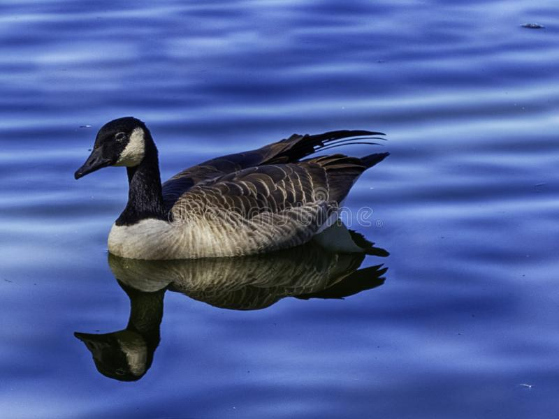 En gås i blått vatten royaltyfri foto