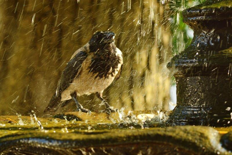 En galande på springbrunnen arkivfoto