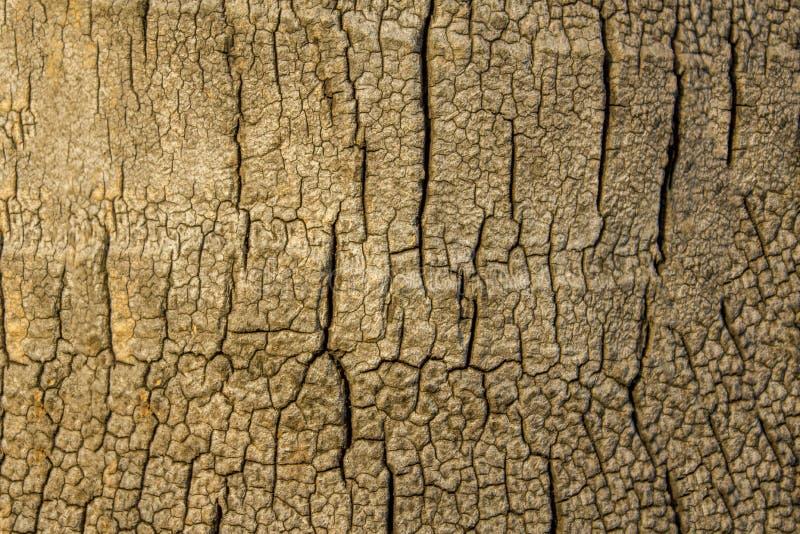 En gammal grå färg gömma i handflatan stammen med sprickacloseupen naturlig yttersidatextur arkivbild