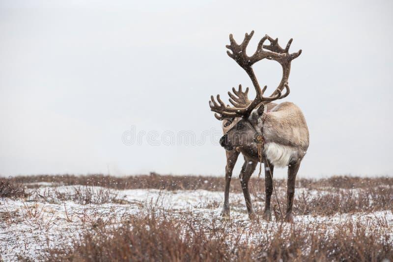 En gammal manlig ren i en snöstorm arkivbilder