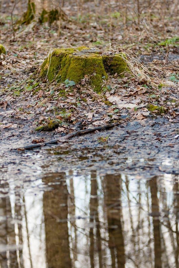 En gammal skogstubbe som täckas med grön mossa bredvid den April pölen med reflexionen av träd arkivfoto