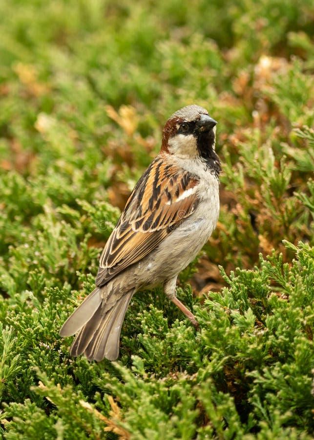 En gammal sparrow sitter på en tallbuss arkivfoto