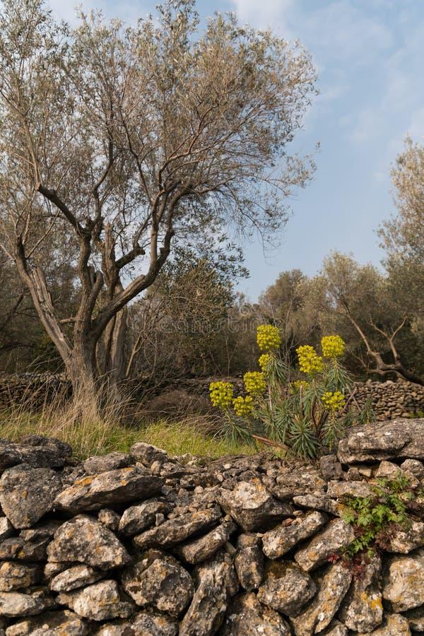 En gammal stenvägg i en olivgrön dunge i Kroatien royaltyfri fotografi
