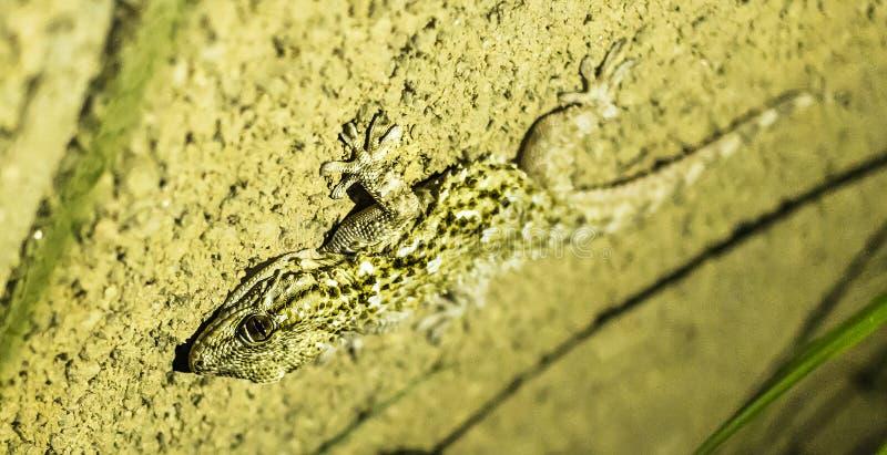 En gecko i min trädgård royaltyfri bild