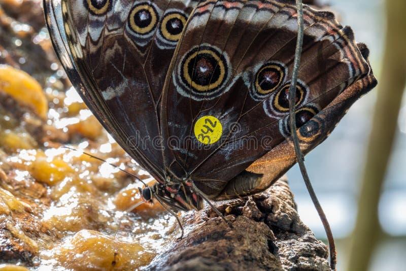 En gemensam Buckeyefjärilsmatning royaltyfria foton