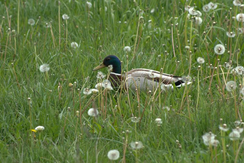 En gemensam and för manlig and, Anasplatyrhynchosanseende bland maskrostaraxacumen, officinale i högt gräs som håller ögonen på f arkivfoton