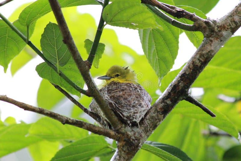 En gemensam kanariefågel på redet arkivbild