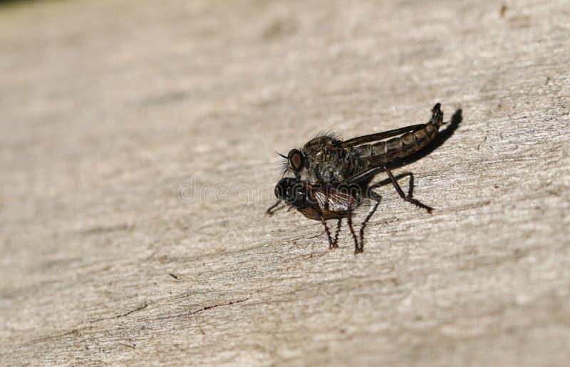 En gemensam sylRobberfly Neoitamus cyanurus som matar på dess rov annat flugan royaltyfri fotografi