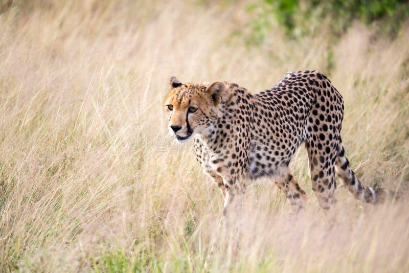 En gepard går i det höga gräset av savannahen som söker efter något att äta arkivfoto