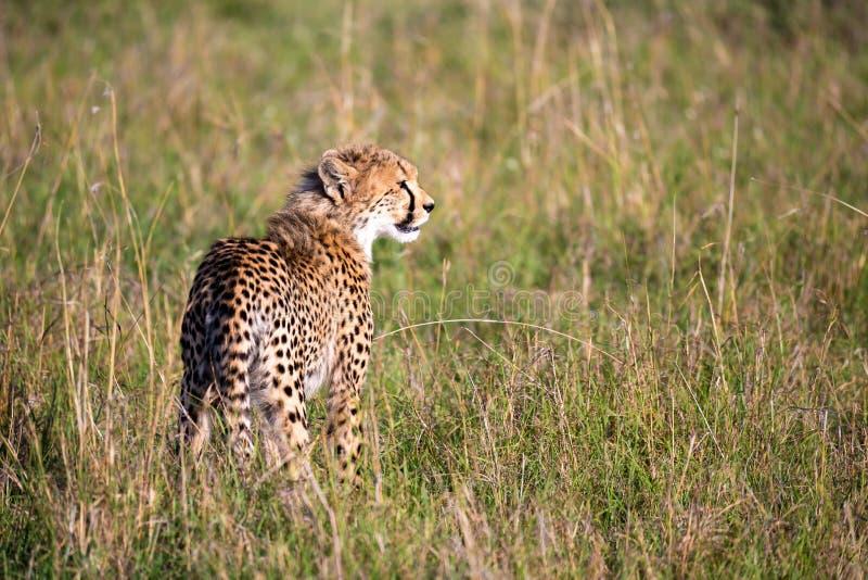 En gepard går mellan gräs och buskar i savannahen av Kenya arkivbild