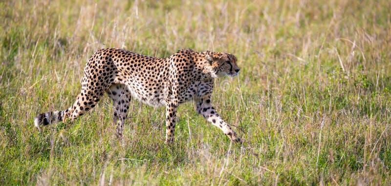En gepard g?r mellan gr?s och buskar i savannahen av Kenya arkivfoto