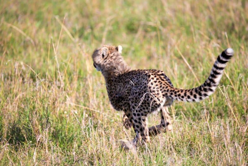 En gepard g?r mellan gr?s och buskar i savannahen av Kenya arkivbilder