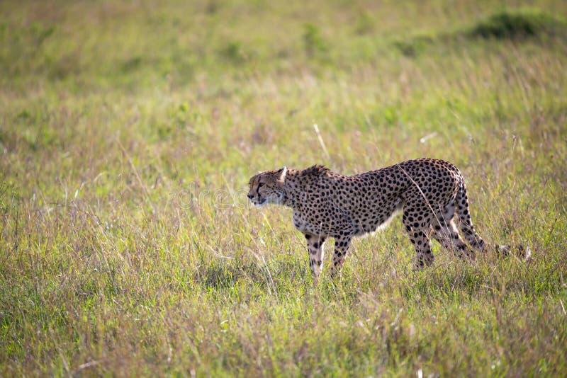 En gepard g?r mellan gr?s och buskar i savannahen av Kenya royaltyfria foton