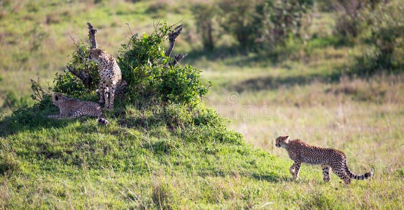 En gepard g?r mellan gr?s och buskar i savannahen av Kenya fotografering för bildbyråer