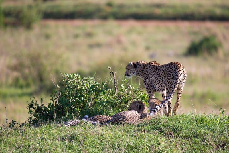 En gepard g?r mellan gr?s och buskar i savannahen av Kenya arkivfoton