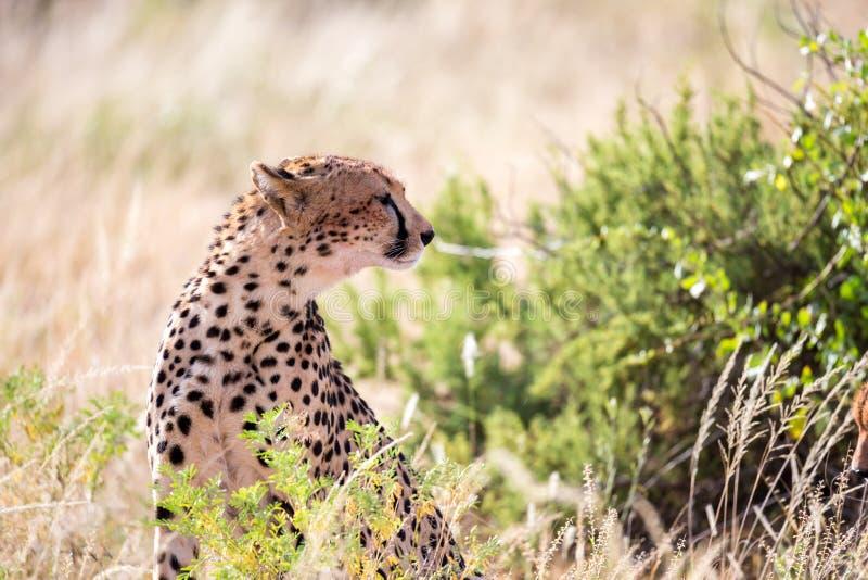 En gepard i gräslandskapet mellan buskarna arkivfoto
