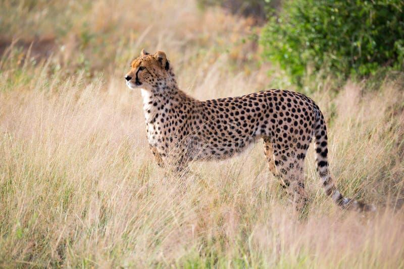 En gepard i gräslandskapet mellan buskarna arkivbilder