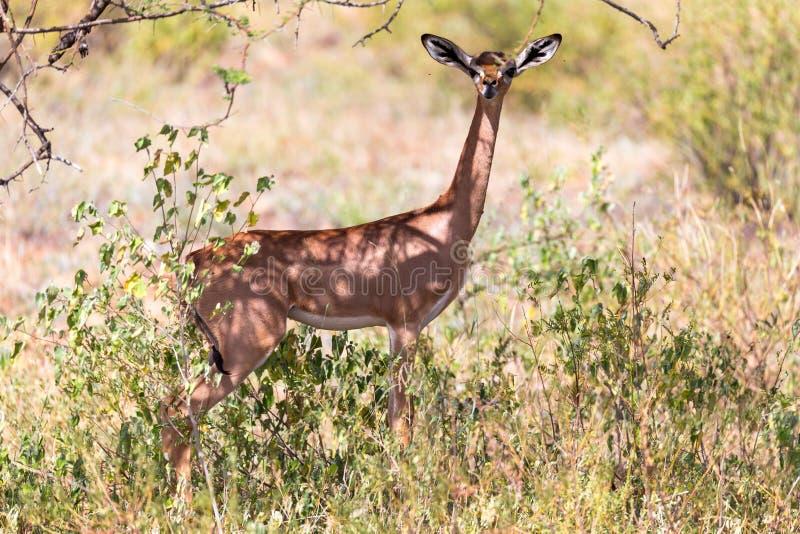 En gerenuk mellan växterna i savannahen arkivfoto